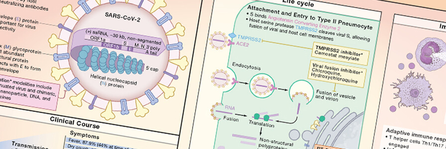 Wallchart showing an overview of the innate and adaptive immune response to SARS-CoV-2