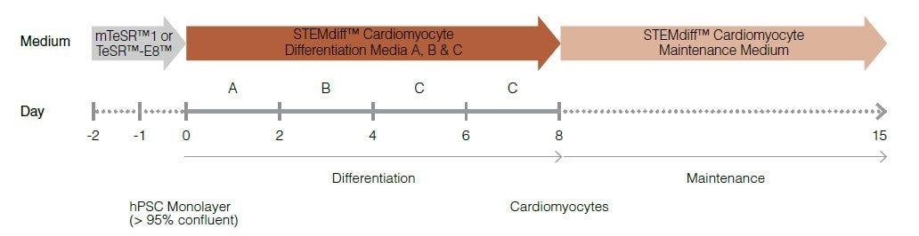 Cardiomyocyte Differentiation Protocol