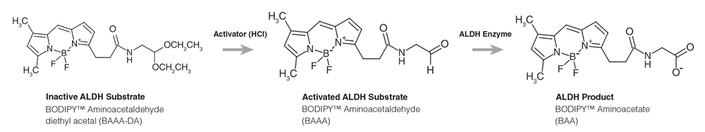 Figure 2. Chemical Structures of Inactive Substrate, Activated Substrate and Product Forms of ALDEFLUOR™ Reagent