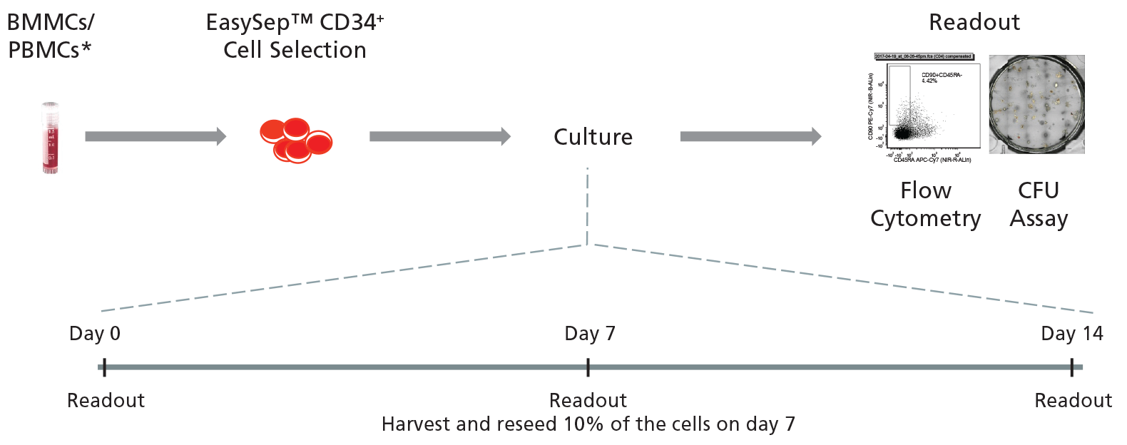 Figure 2. General Protocol for Culturing CD34<sup>+</sup> CML Cells