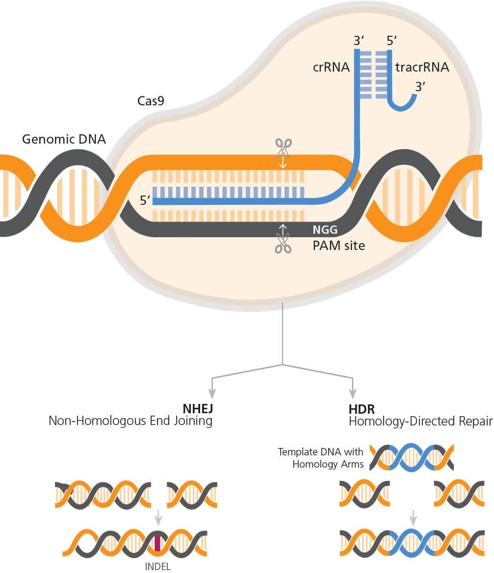 CRISPR-Cas9 Genome Editing Mechanism
