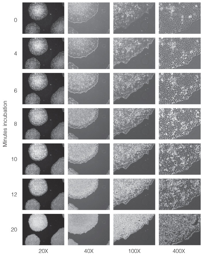 Dissociation of human ES cells with Gentle Cell Dissociation Reagent