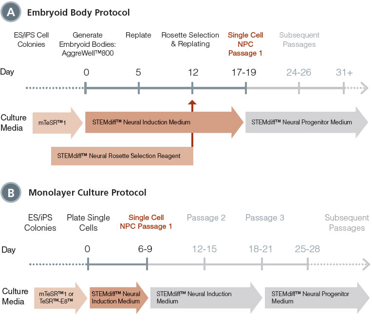 Schematic for Embryoid Body and Monolayer Culture Neural Induction Protocols