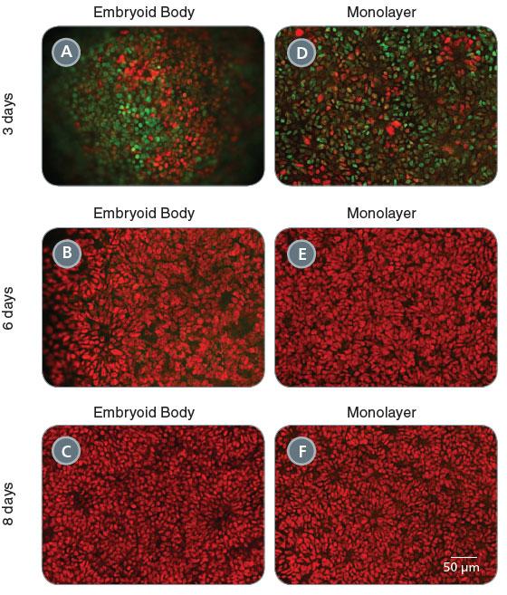 Time-Course of Neural Induction of Human ES Cells Using Embryoid Body and Monolayer Culture Protocols