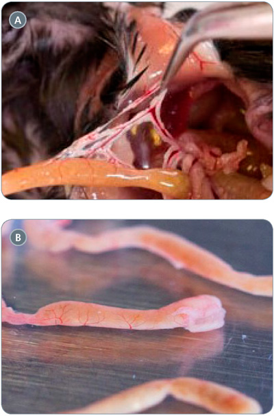 Isolation of mouse intestine: A) removal of external membrane from mouse intestine; B) harvested mouse intestinal segment after removal of external membrane