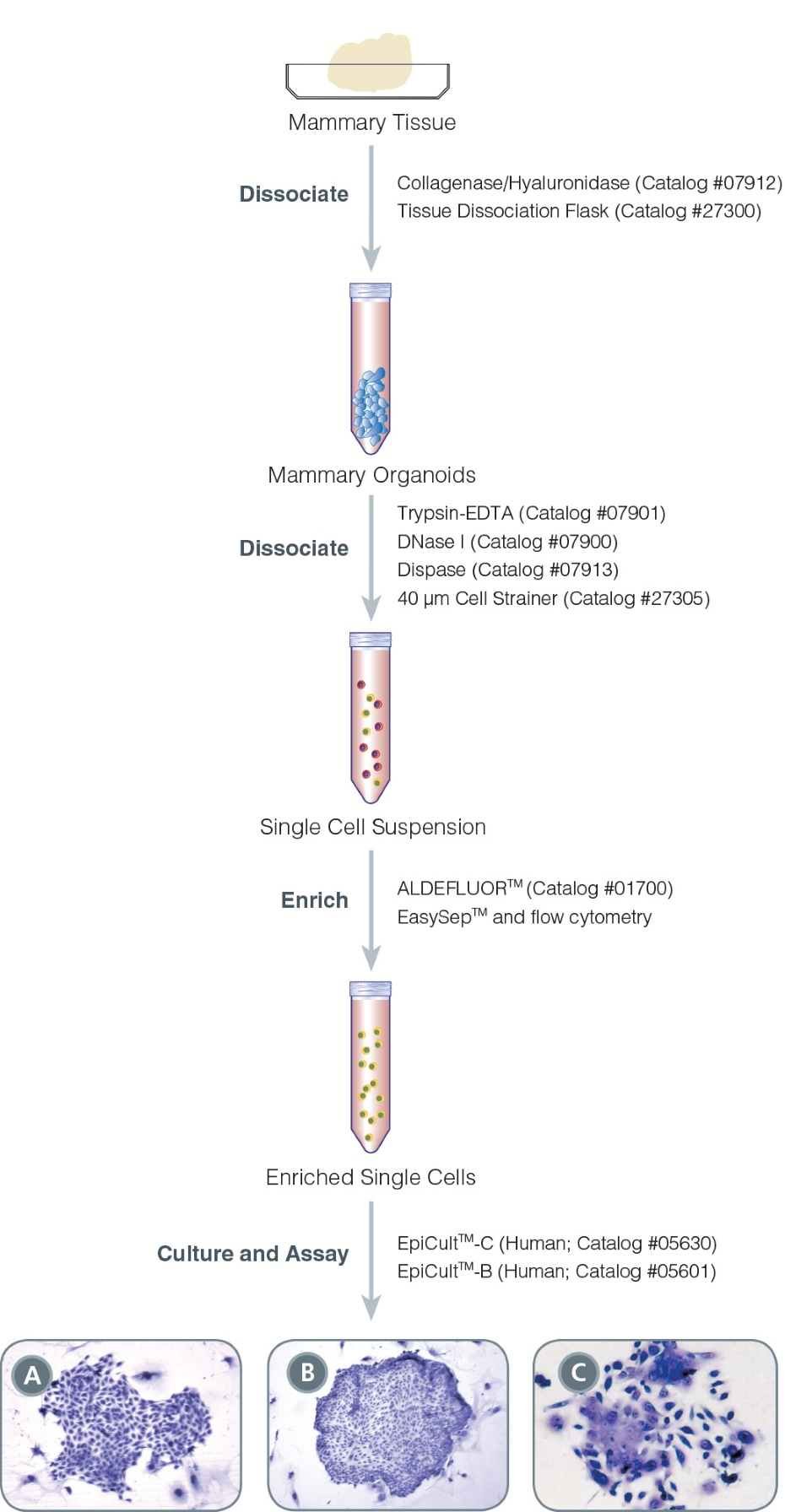 Protocol for Isolation and Identification of Human Mammary Progenitor Epithelial Cells