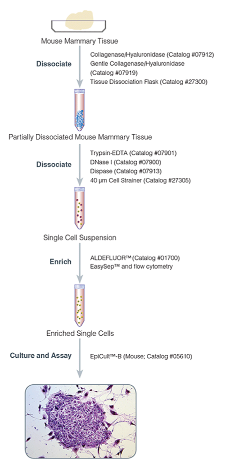 Protocol for Isolation and Culture of Mouse Mammary Epithelial Cells