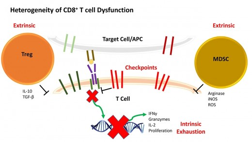 CD8+ TILs and Breast Cancer: Identifying New Opportunities for Immunotherapeutic Intervention