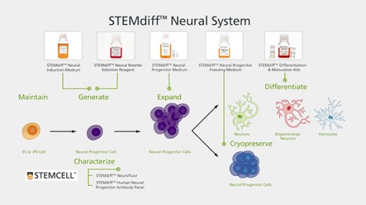 "STEMdiffâ""¢ Neural System for hPSC Based Neurological Modeling"
