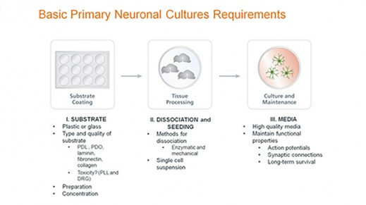 Standardized Primary Neuronal Culture with NeuroCult™ SM