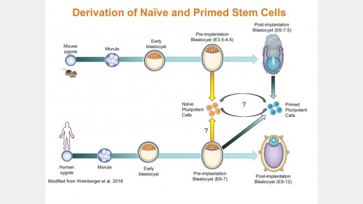 Human Naïve-Like Pluripotent Stem Cell Generation and Maintenance