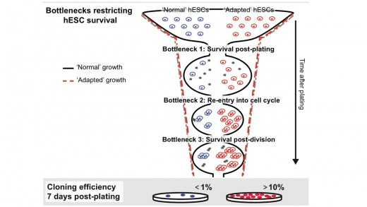 Genetic Stability of Human Pluripotent Stem Cells
