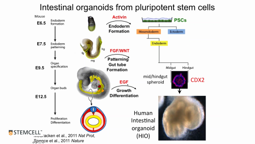 Modeling Human Gastrointestinal Development and Disease Using Pluripotent Stem Cells