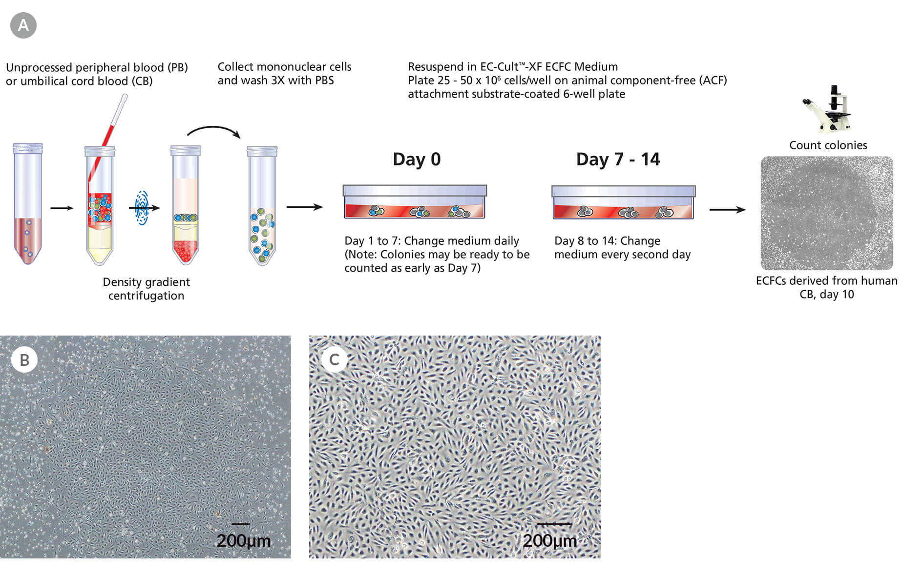 Derivation and Colony Assay for Human ECFCs Using EC-Cult™-XF ECFC Medium