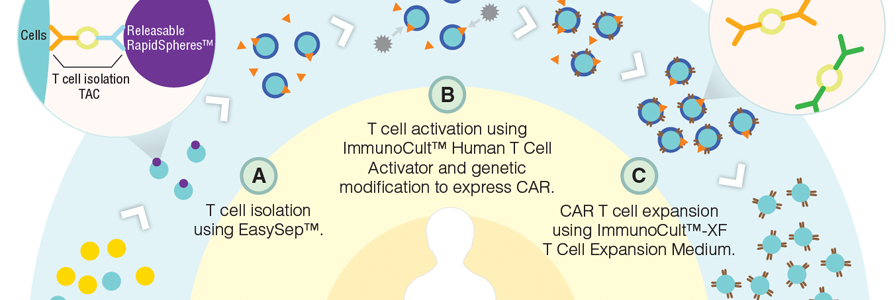 Human T cell isolation, activation and expansion workflow