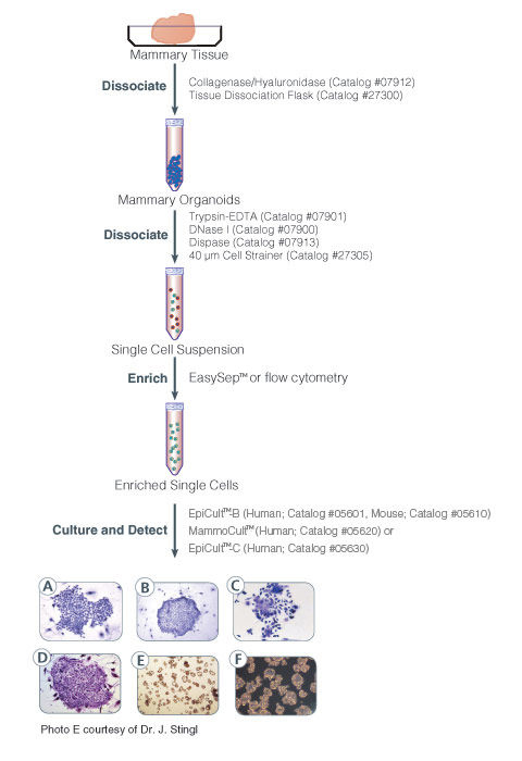 Protocol for isolation and identification of human and mouse mammary epithelial progenitor cells