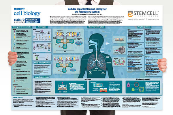 Free STEMCELL Technologies Wallchart - Cellular Organization and Biology of the Respiratory System