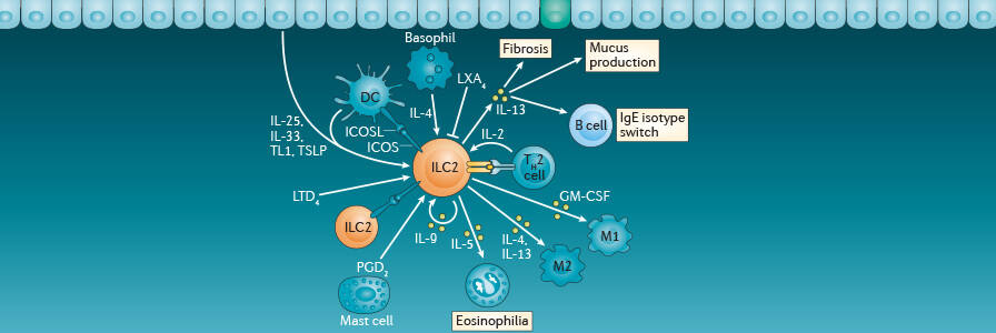 Request an Innate Lymphoid Cell (ILC) Wallchart for Your Immunology Research